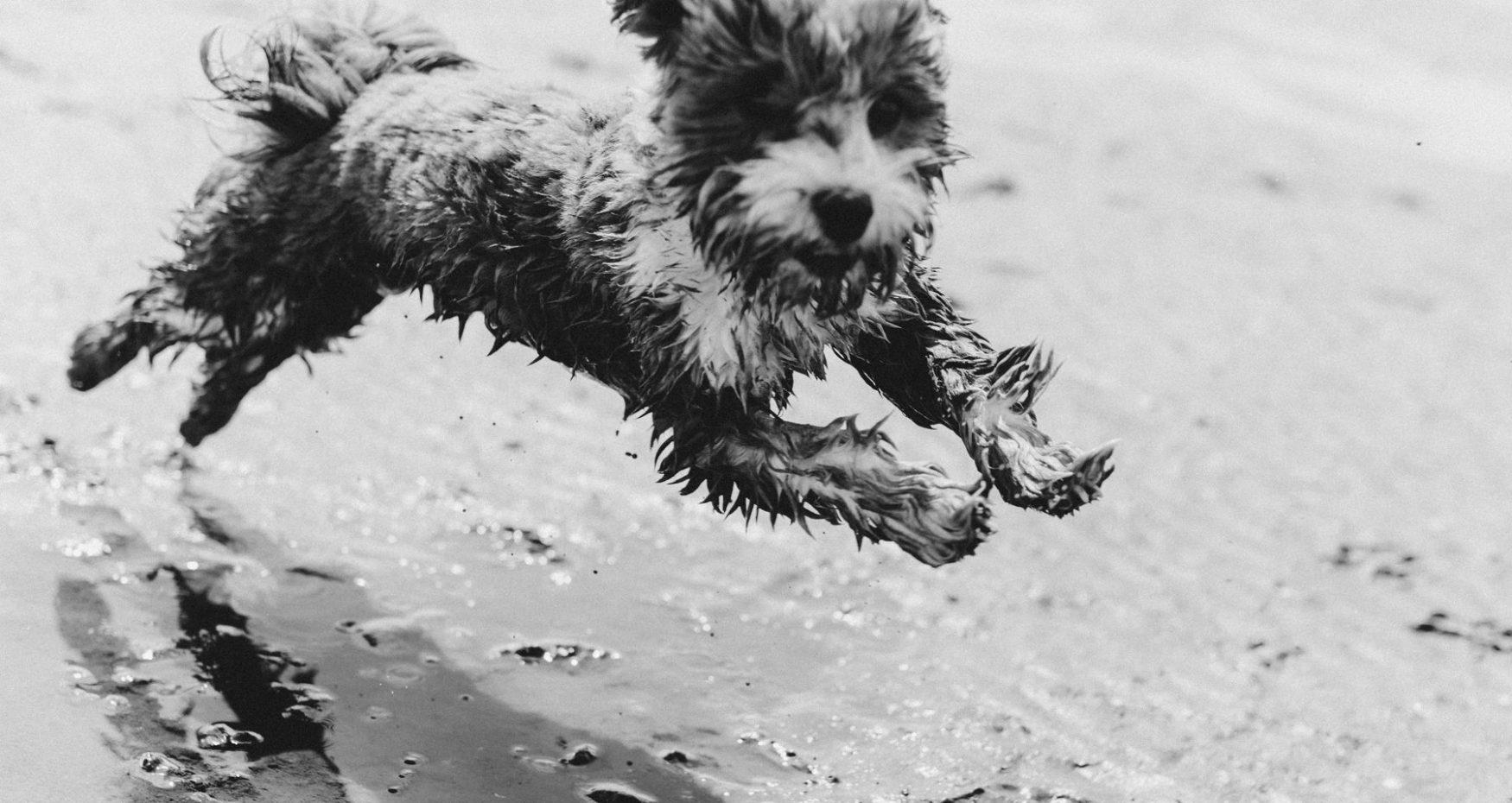 Hund im Watt Havaneser